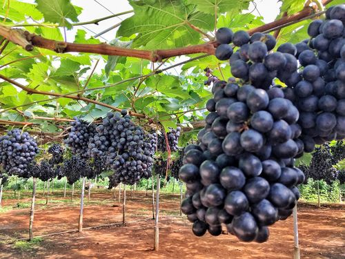 Fruit Growth Freshness Agriculture Tree Bunch Winemaking Grape Food And Drink Green Color Vineyard Nature Close-up Leaf Healthy Eating No People Outdoors Food Branch Garden Beauty In Nature Scenics EyeEmNewHere