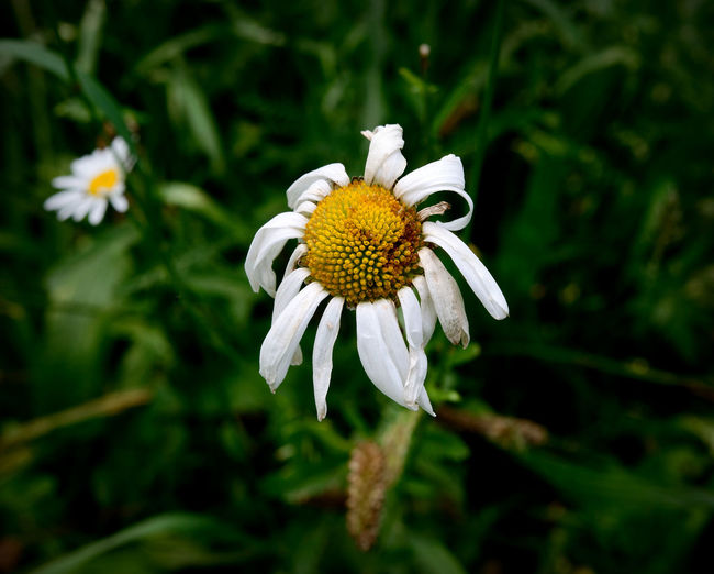 Close-up of wilted white daisy on field