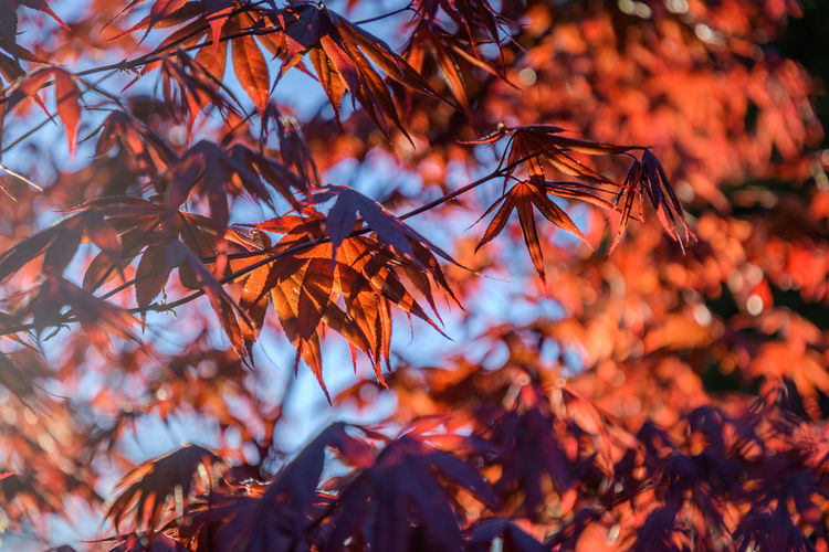 Japanese Maples in the sun Plant Plant Part Leaf Autumn Beauty In Nature Growth No People Tree Selective Focus Orange Color Change Close-up Branch Nature Focus On Foreground Day Leaves Tranquility Outdoors Low Angle View Maple Leaf Natural Condition Japanese  Japanese Maple Maple Leaves Garden Garden Photography Gardening Backyard Backyard Photography