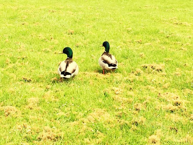 Two Ducks Walking Together Green Color Plant Group Of Animals Grass Bird Vertebrate Nature Animals In The Wild Field Animal Themes Land Animal Wildlife Animal Day High Angle View Duck No People Poultry Sunlight Growth The Great Outdoors - 2018 EyeEm Awards