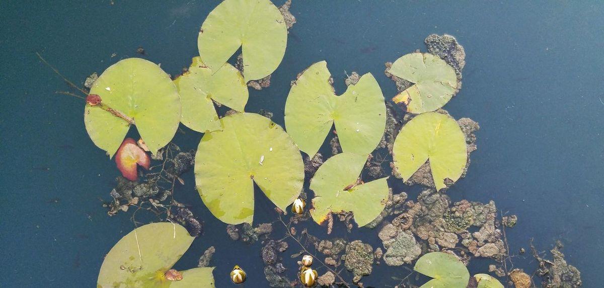 Ohio Columbus, Ohio Short North Goodale Park Lily Pads Water