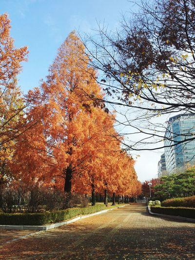 Ilsan  Ilsan Lake Park Autumn Mapleleaf Maple