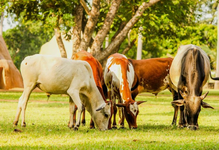 Animal Themes Domestic Animals Mammal Horse Livestock Grass Standing Grazing Herbivorous Vertebrate Field Tree Full Length Green Color Plant Nature Grassy Zoology Day Tranquility Indian Photographer CreativePhotographer Cows In The Feilds Outdoors Working Animals