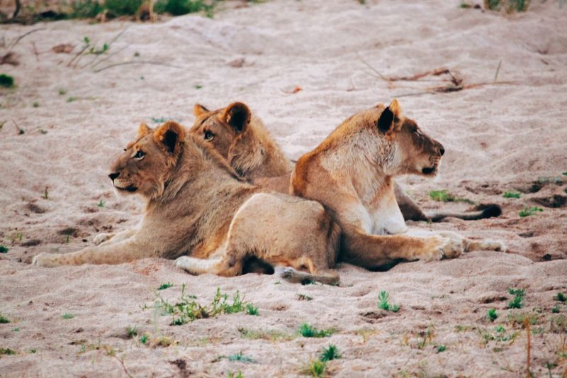Making 2017 better than 2016 is going to be a big challenge! Throwback South Africa Southafrica Safari Game Drive Lion Lions Lioness Big5 Bigfive The Big Five Cat Wild Cat Animal Animals Wild Wildlife Wildlife & Nature Wildlife Photography Animals In The Wild Lion Cub Relaxation Animal Wildlife Nature Africa The Great Outdoors - 2017 EyeEm Awards