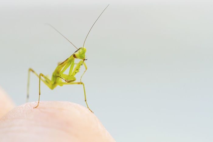 My little friend on my finger. Gotta get a lighter camera.. Praying Mantis Baby Cute Cute Pets Green Macro Macro_bugs