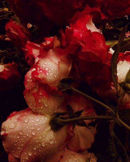 Rosesintherain Raindrops Drenched_in_rain Bunches Of Flowers Overflowing Roses Raspberry Red Roses In The Rain Scents Of Roses Rosé Rose🌹 Nach Dem Regen ...