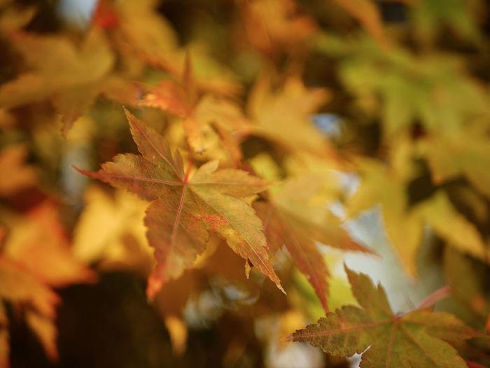 Outdoors Branch Sunlight Maple Tree Tree Nature Leaf Autumn
