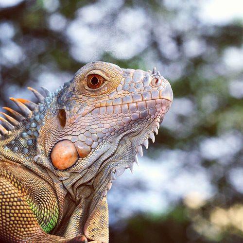 Anggunnya... Iguana Reptile Ig_reptile