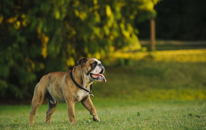 English Bulldog Bulldog Canine Dog English Bulldog Natural Light No People Outdoors
