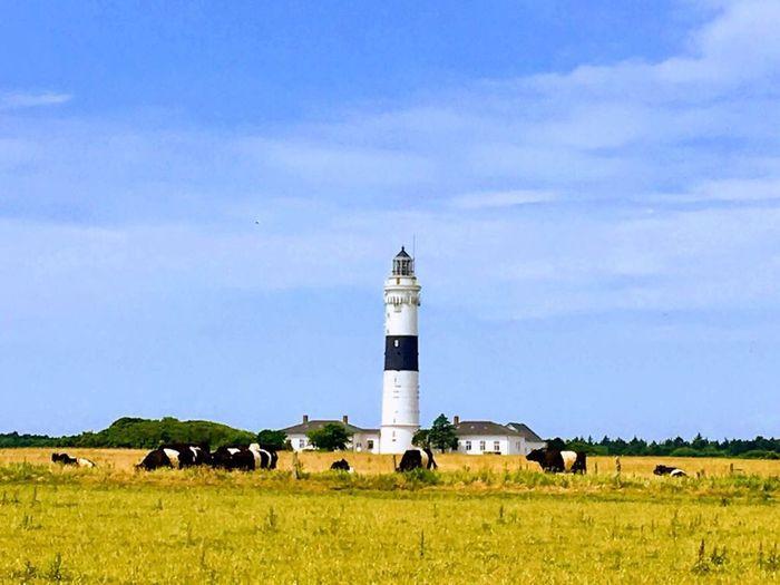 Lighthouse Blackandwhite Cows