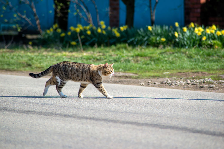 Side view of a cat walking on road