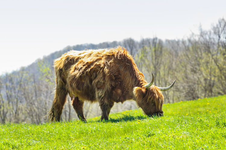 American Bison Animal Hair Animal Themes Animal Wildlife Brown Cattle Cow Day Domestic Animals Field Grass Highland Cattle Livestock Mammal Nature No People One Animal Outdoors Sky Standing