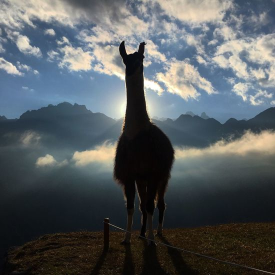 FULL LENGTH SILHOUETTE OF LLAMA ON MOUNTAIN