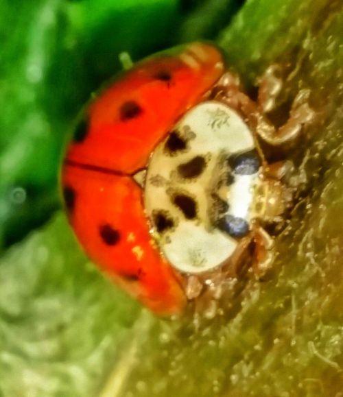 Red Ladybug Macro Macro Nature Macro Beauty Macro Photography Nature Photography Outdoor Photography Micro Nature Insect Photography Cute Pretty Insects Ladybug Showcase April