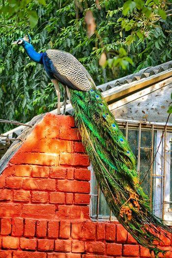 Peacock Nationalbirdofindia Bigbird Beauty In Nature