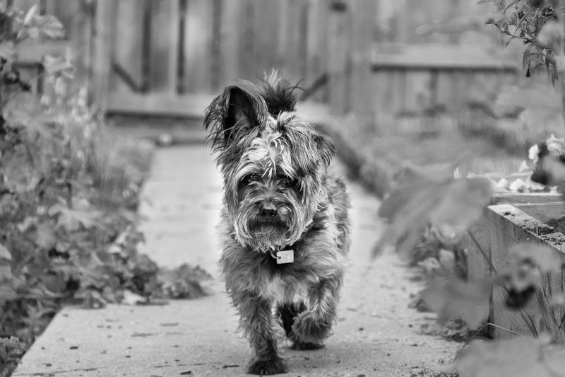 One Animal Mammal Vertebrate Domestic Animals No People Portrait Pets Looking At Camera Dog
