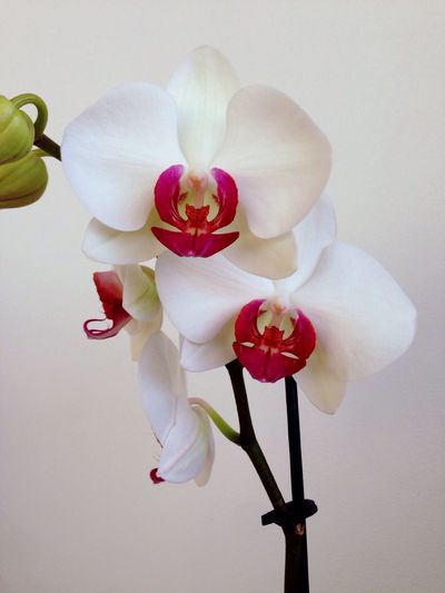 Flower White Color Otchid Home