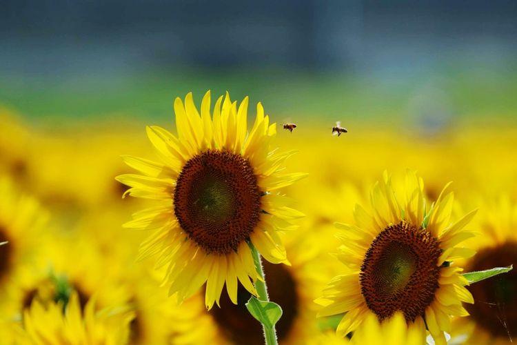 ひまわり🌻と蜂🐝くん Flower ひまわり畑 蜂