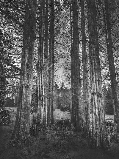 Dawn Redwoods in Winter