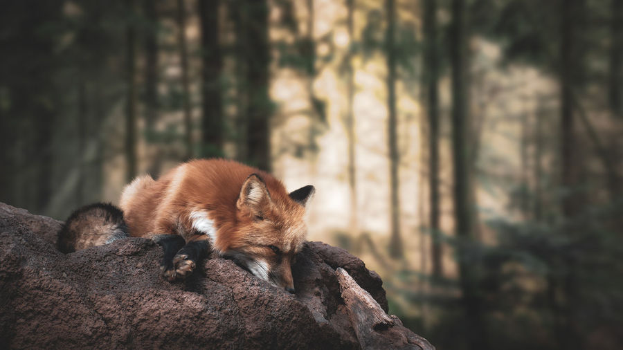 Fox on rock in forest