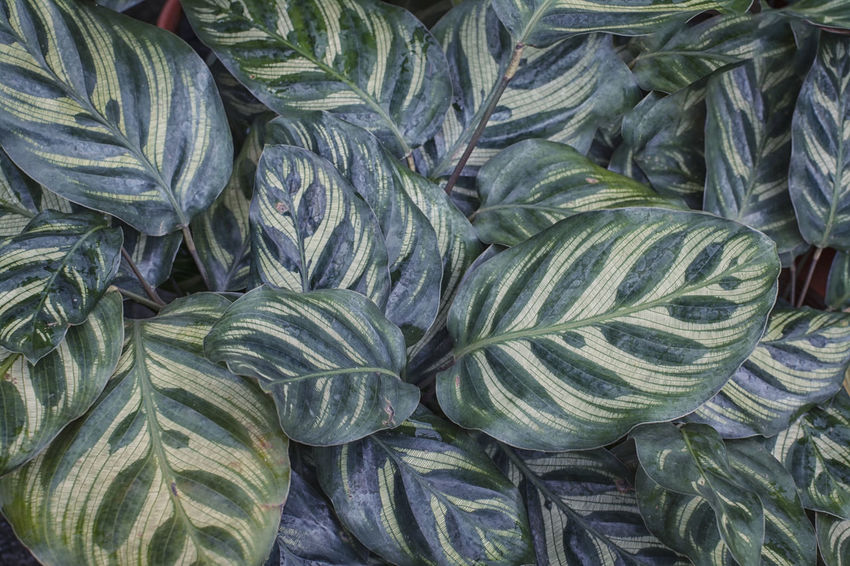 Calathea Sanderiana Gardening Leafs Plant Tree Abundance Backgrounds Botanical Garden Botantical Calathea Freshness Green Color High Angle View Large Group Of Objects Leaf Leaves Pattern Plant Part Sanderiana Stripes Pattern Texture