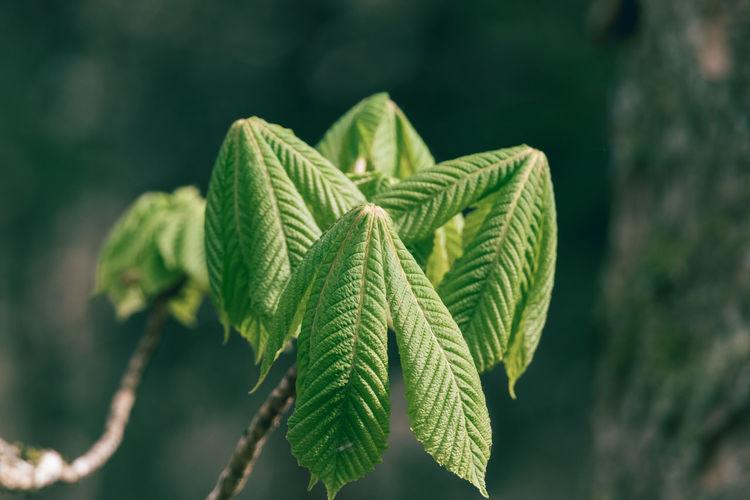 Fresh chestnut leaves in spring