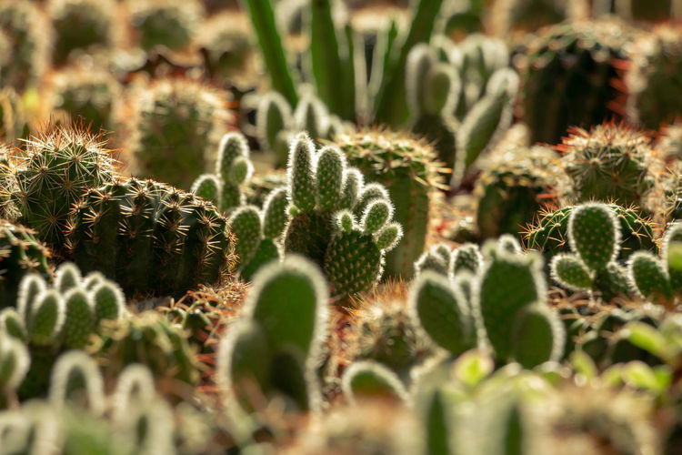 Beautiful little cacti, selective focus EyeEm Best Shots EyeEm Nature Lover EyeEmNewHere Cacti Cactus Desert Plants Tiny Beauty In Nature Cactus Close-up Day Garden Green Color Growth Hairy  Little Nature No People Outdoors Plant Selective Focus Small Succulent Plant Wooly Capture Tomorrow 2018 In One Photograph