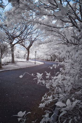 An infrared view of a road with white foliage trees. Infrared Perspective Road White Foliage Bare Tree Beauty In Nature Branch Cold Temperature Color Infrared Day Infrared Photography Nature No People Outdoors Scenics Sky Tranquil Scene Tranquility Tree Winter