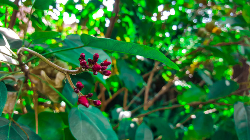 Beauty In Nature Berry Fruit Freshness Green Color Growth Leaf Nature Plant Red Tree