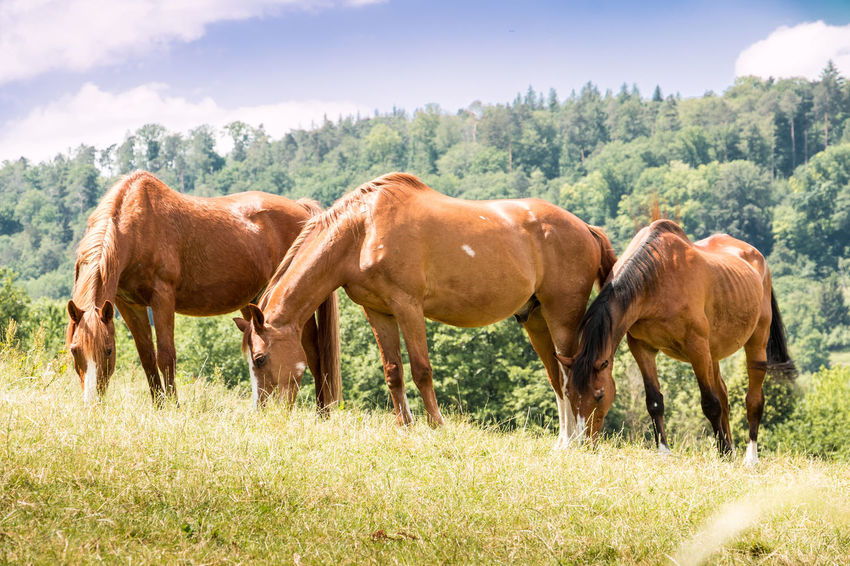 Horses on the green meadow Animal Animal Family Animal Themes Animal Wildlife Day Domestic Domestic Animals Field Grass Group Of Animals Herbivorous Horse Land Landscape Livestock Mammal Nature No People Outdoors Pets Plant Tree Vertebrate
