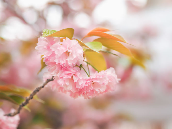 Beauty In Nature Blossom Cherry Blossom Cherry Tree Close-up Day Flower Flower Head Flowering Plant Focus On Foreground Fragility Freshness Growth Inflorescence Nature No People Outdoors Petal Pink Color Plant Selective Focus Springtime Vulnerability