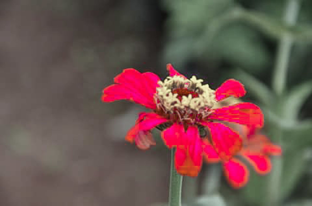 flower, petal, fragility, red, plant, flower head, nature, focus on foreground, freshness, day, no people, outdoors, zinnia, growth, pink color, close-up, beauty in nature, blooming
