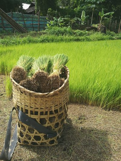 Rice Paddy Rice Field Sprouts Seedlings Young Plants Farm Life Thailand Agriculture