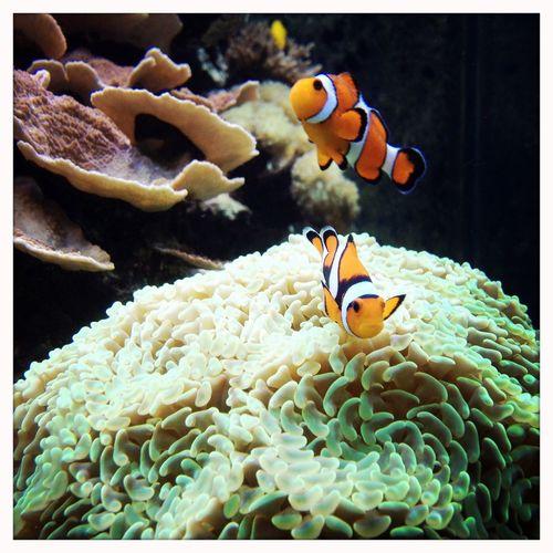 Clownfish in aquarium Clownfish Fish Aquarium Clown Anemonefish Amphiprioninae