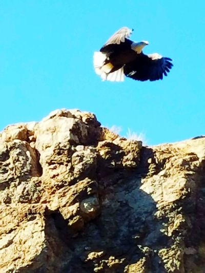 Bald Eagle In FlightCanyon Lake