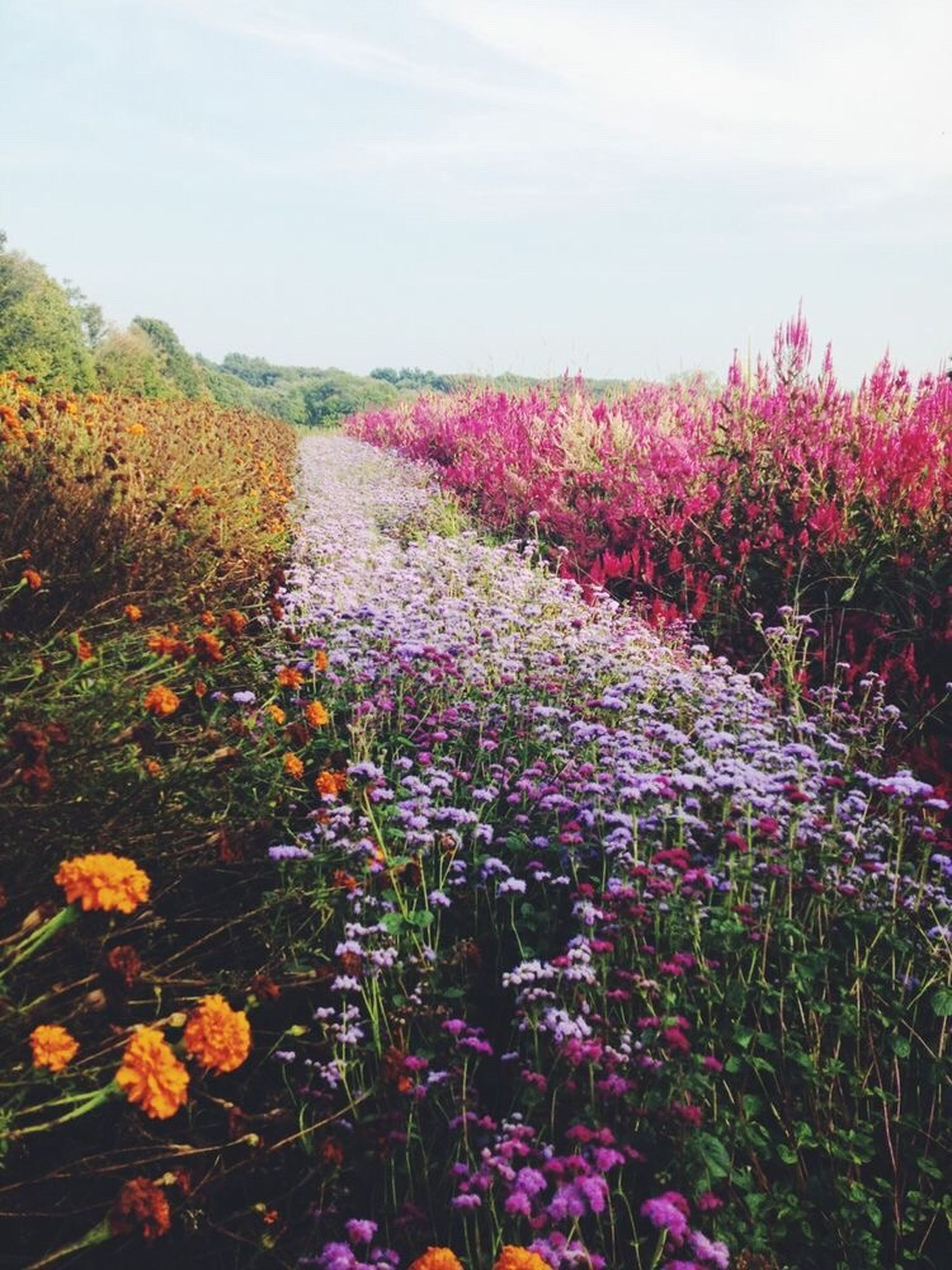 flower, nature, growth, beauty in nature, field, plant, no people, tranquility, landscape, purple, outdoors, day, scenics, sky, blooming, freshness, tree, fragility