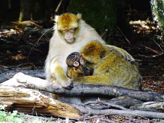 Tierische Familie Family äffchen Affe Togetherness Animal Themes Animals In The Wild Young Animal Animal Family Outdoors Animal Wildlife Monkey Nature Sitting Day