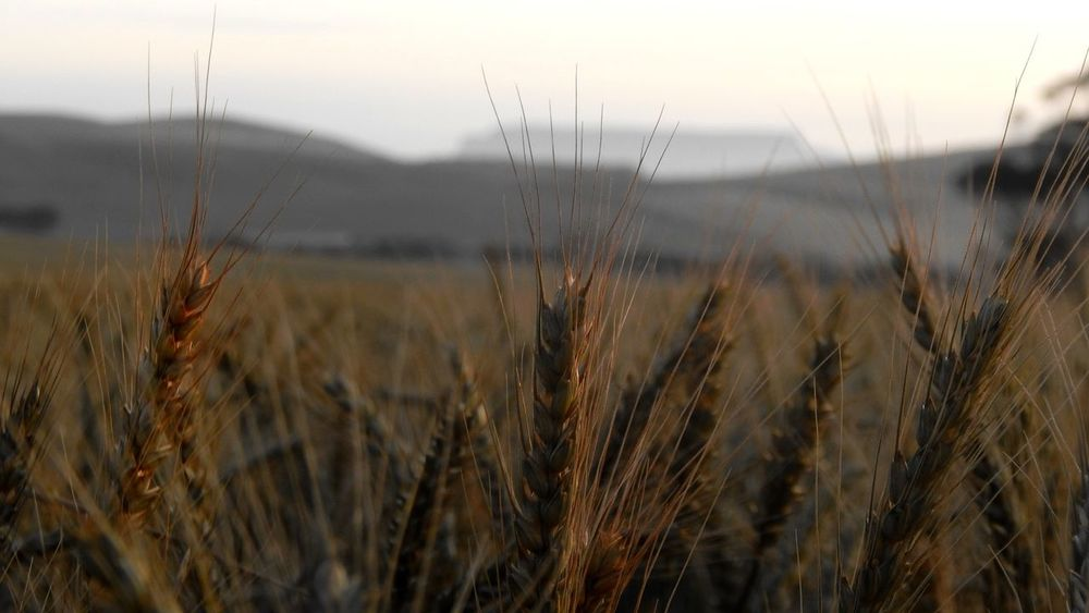 Cape Town, South Africa Farm Table Mountain Agriculture Beauty In Nature Cereal Plant Close-up Crop  Day Field Focus On Foreground Growth Landscape Nature No People Outdoors Plant Rural Scene Scenics Sky Sunset Tranquil Scene Tranquility Wheat