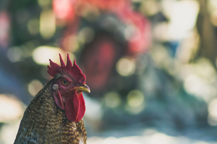 Animal Animals Beauty In Nature Bird Bird Photography Chicken Chickens Close-up Day Egg Feather  Focus On Foreground Kerber Natrual Beauty  Nature Nature No People Outdoors Rural Rural Scene