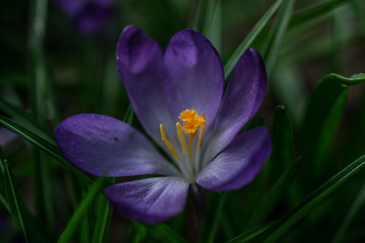 Beauty In Nature Blooming Bokeh Close-up Crocus Day Flower Flower Head Fragility Freshness Growth Iris - Plant Macro Nature No People Outdoors Petal Plant Purple