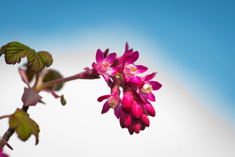 Low Angle View Of Pink Flowers Blooming Against Clear Blue Sky