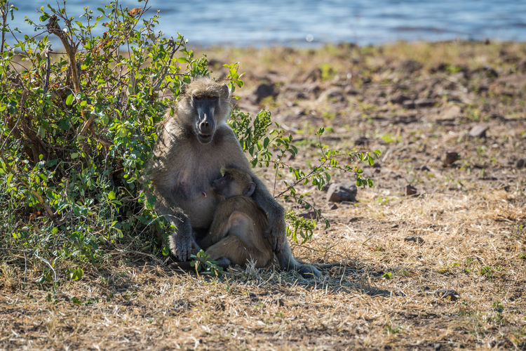 Portrait Of Chacma Baboon With Its Baby In Forest