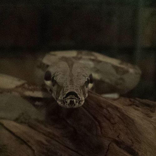 Boa Boababy Gomez Snakesofinstagram snakeface snek reptilesofinstagram