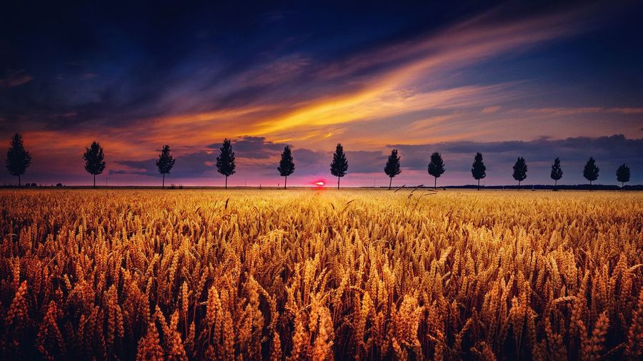 Crops growing on field against cloudy sky at sunset
