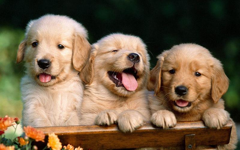 Portrait Of Golden Retriever Puppies On Bench