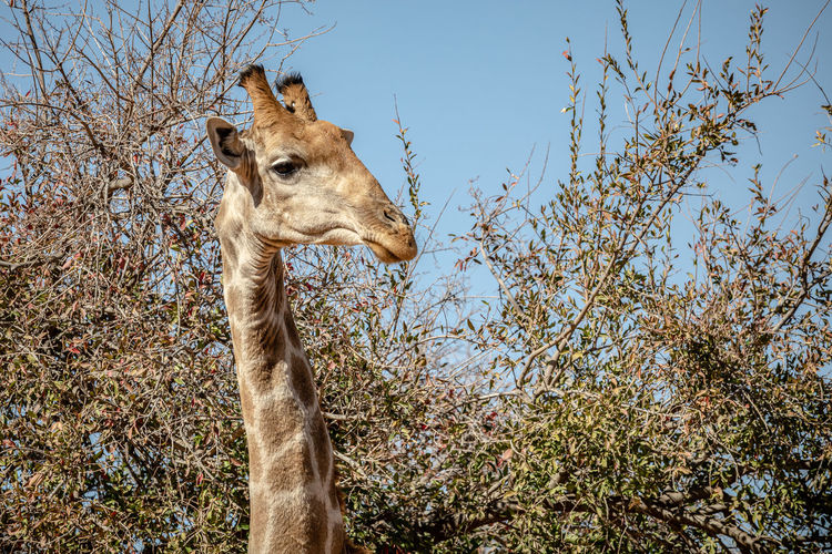 Low angle view of giraffe on tree against sky