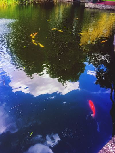 Water Swimming Fish Reflection Animal Themes Animals In The Wild Nature Koi Carp Wildlife Lake Sea Life High Angle View No People Outdoors Carp Day Close-up