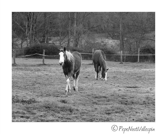 Poladesiero Horses Animal Themes Domestic Animals Outdoors Nature Photography Blancoynegro Black&white Black And White Blackandwhite Photography Blackandwhitephotography Blackandwhite Outdoor Photography Pola De Siero Black And White Photography Animal