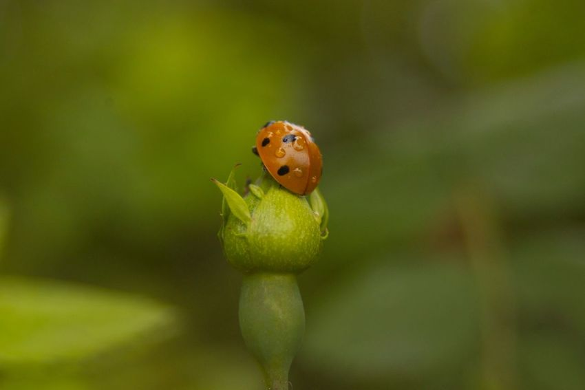 Close-up Countryside Droplet Droplets Insect Ladybird Ladybug Macro Nature Outdoors Selective Focus Summer Water