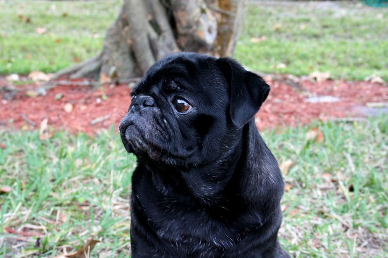 Black pug on the grass Outdoors Black Pugs Pug Dog Black No People Selective Focus Focus On Foreground Outside Day Dark Fine Art Photography